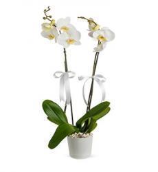 çift dal beyaz orkide – Yenimahalle Çiçek-ankara