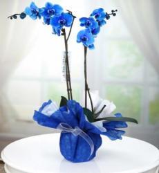 ÇİFT DAL MAVİ ORKİDE – Yenimahalle Çiçek