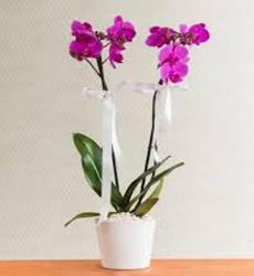 çift dal mor orkide – Yenimahalle Çiçek-ANKARA-ÇİÇEK