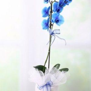 mavi orkide tek dal-yenimahalle çiçek ankara