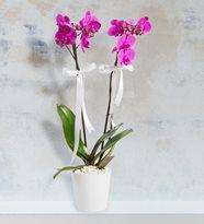 çift dal mor orkide – Yenimahalle Çiçek-ankara